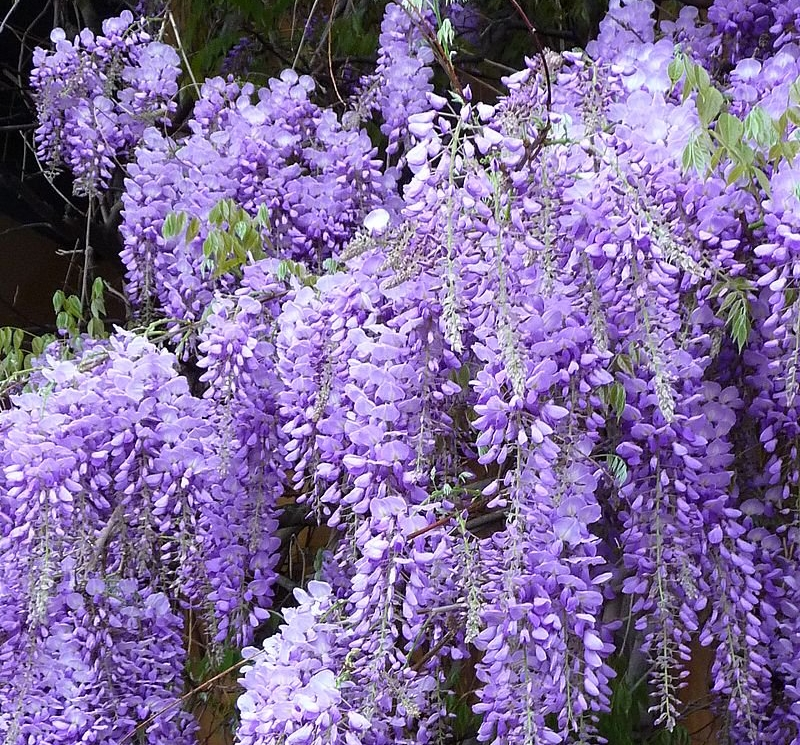Berikut 9 Bunga Beracun Lidah Mertua Menjadi Salah Satunya
